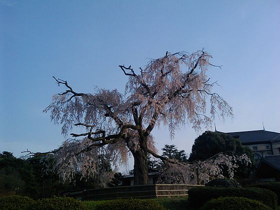 枝垂桜 円山公園